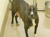 Pit Bull Terrier - Sweetie Pie - Large - Senior -