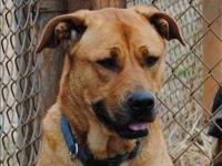 Pit Bull Terrier - Taliyah - Medium - Adult - Female -
