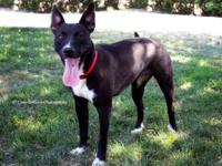 Pit Bull Terrier - Tammy - Large - Young - Female -
