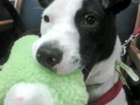 Pit Bull Terrier - Target - Medium - Young - Male -