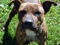 Pit Bull Terrier - Tater Tot - Large - Young - Male -
