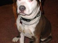 Pit Bull Terrier - Tebow - Large - Young - Male - Dog