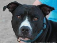 Pit Bull Terrier - Teddy - Large - Young - Male - Dog