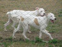 Pit Bull Terrier - Tia And Tamara - Medium - Adult -