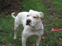 Pit Bull Terrier - Tiger Lilly - Large - Young - Female