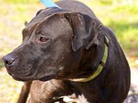 Pit Bull Terrier - Titan - Medium - Young - Male - Dog
