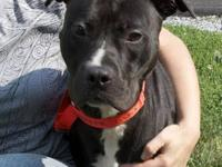 Pit Bull Terrier - Tommy - Medium - Adult - Male - Dog