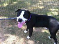 Pit Bull Terrier - Tonka - Medium - Young - Male - Dog