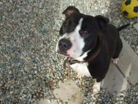 Pit Bull Terrier - Tosca - Foster Home Needed - Large -