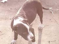 Pit Bull Terrier - Treah - Medium - Adult - Male - Dog