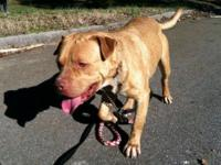 Pit Bull Terrier - Trouble (housebroken) - Large -