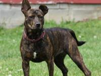 Pit Bull Terrier - Twix - Medium - Adult - Female -