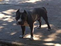 Blue and white male 100% Razors Edge bloodline just