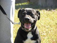 Pit Bull Terrier - Vincent - Medium - Young - Male -