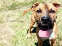 Pit Bull Terrier - Wally - Medium - Young - Male - Dog
