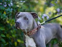 Pit Bull Terrier - Wheeler - Large - Adult - Male -