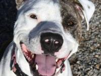 Pit Bull Terrier - Whirly - Medium - Young - Male -
