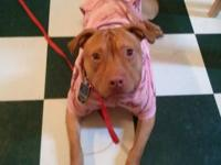 Pit Bull Terrier - Willow ** Courtesy Posting** -