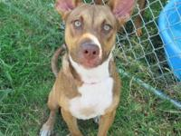 Pit Bull Terrier - Xena - Small - Young - Female - Dog