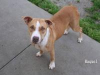 Pit Bull Terrier - Yona - Medium - Adult - Female -