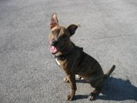 Pit Bull Terrier - Zeke - Medium - Young - Male - Dog