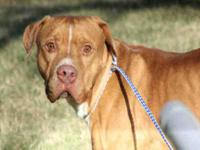 Pit Bull Terrier - Zeus - Medium - Young - Male - Dog