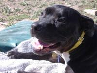 Pit Bull Terrier - Zoe - Medium - Young - Female - Dog