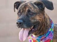 Pit Bull Terrier - Zoey - Large - Adult - Female - Dog