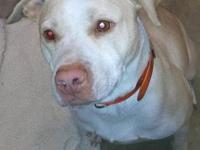 Pit Bull Terrier - Zoey - Medium - Adult - Female -