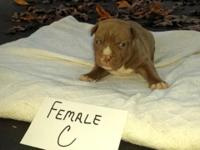 UKC PURPLE RIBBON SIRED PIT BULL PUPPIES FOR SALE.