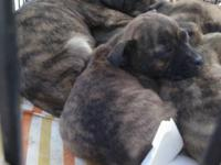 I HAVE A LITTER PIT BULL PUPPIES BORN 01/03/2013. WILL
