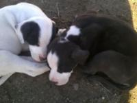 I have 2 pit lab mix puppies 8 weeks old one male and