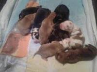 Litter of puppies ready to go on 10/25 - 4 females 3
