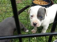 Hey I have three beautiful pit puppy's they were born