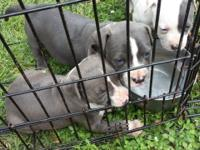 I have two grey boys left for sale they were born June