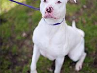 Pit Bull Terrier - 0123 - Large - Young - Female - Dog
