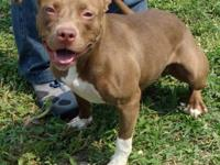 Pit Bull Terrier - 0242 - Large - Young - Female - Dog