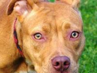Pit Bull Terrier - A590902 - Small - Young - Female -