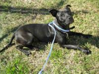 Pit Bull Terrier - A598193 - Small - Young - Male -