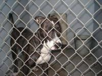 Pit Bull Terrier - A599698 - Medium - Young - Male -
