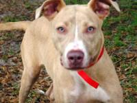 Pit Bull Terrier - A599699 - Medium - Adult - Female -