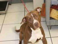 Pit Bull Terrier - A600195 - Large - Adult - Male -