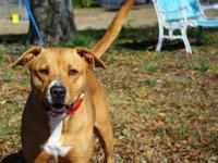 Pit Bull Terrier - A600600 - Large - Adult - Female -