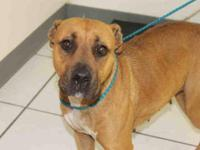 Pit Bull Terrier - A601259 - Medium - Adult - Female -