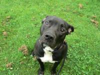 Pit Bull Terrier - Akeem - Large - Adult - Male - Dog