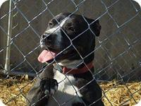 Pit Bull Terrier - Bonnie - Medium - Adult - Female -