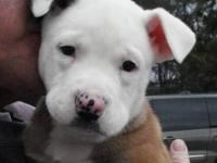 Pit Bull Terrier - Bowser - Medium - Baby - Male - Dog