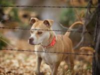 Pit Bull Terrier - Britney - Medium - Adult - Female -