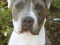 Pit Bull Terrier - Brody - Large - Young - Male - Dog