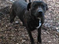 Pit Bull Terrier - Buddy - Medium - Young - Male - Dog